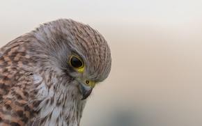 Picture bird, Falco tinnunculus, Kestrel