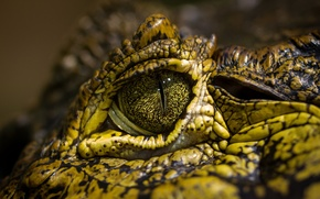 Wallpaper green, eye, crocodile