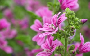 Picture summer, beauty, flowering, mallow