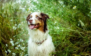 Picture language, look, nature, chamomile, Dog, the bushes, Australian shepherd