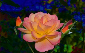 Picture pink, rose, buds, yellow, Rose, yellow, pink