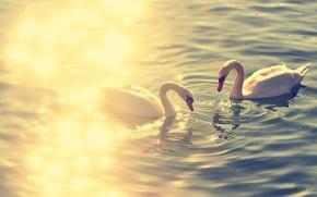 Picture birds, lake, swan, swans, lake, animal