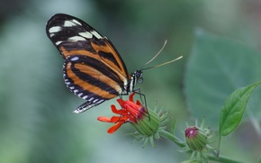 Picture flower, butterfly, plant, wings, insect, moth
