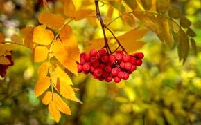 Wallpaper berries, branch, paint, Rowan, autumn, leaves
