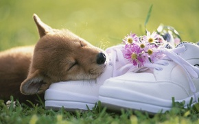 Picture grass, face, flowers, shoes, puppy, a bunch