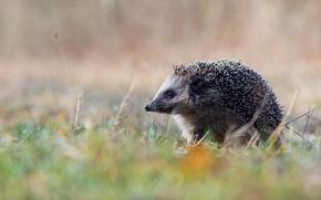 Picture nature, Germany, hedgehog, Lower Saxony, Emsland, hedgehog