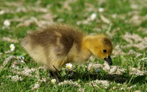 Picture grass, blur, chick, Gosling