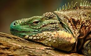 Picture HDR, lizard, iguana