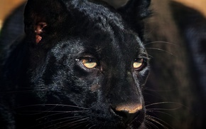 Picture look, face, predator, Panther