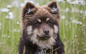 Picture face, dog, Finnish, Lapp, Laplander husky, Finnish lapphund
