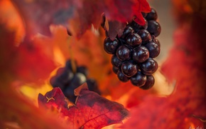 Wallpaper autumn, leaves, grapes, bunch, bokeh