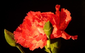 Picture drops, macro, red, red, Carnation, macro, drops, Carnation