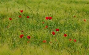Picture field, grass, flowers, Maki, meadow