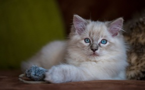 Picture cat, kitty, background, toy, fluffy, mouse, lies, blue-eyed, ragdoll, sweetie