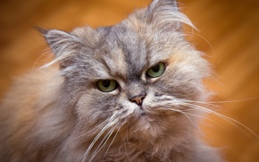 Picture cat, eyes, look, background, portrait, green-eyed, Persian