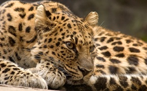 Picture cat, stay, predator, leopard, beast, view
