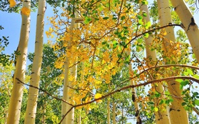 Picture autumn, the sky, leaves, trees, trunk, aspen