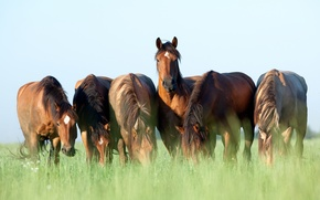 Picture summer, the sky, grass, horses, horse, brown, six, Wallpaper from lolita777, grazing
