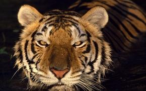 Wallpaper look, water, Tiger