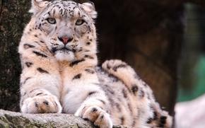 Picture look, face, lies, Snow leopard, IRBIS, snow leopard, serious