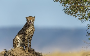 Picture cat, nature, background, Cheetah