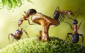 Picture macro, insects, mushroom, moss, the situation, ants, Wallpaper from lolita777