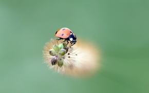 Picture ladybug, insect, ladybird