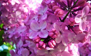 Picture Lilac, flowering, April