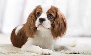 Picture portrait, look, Spaniel, The cavalier king Charles Spaniel, dog