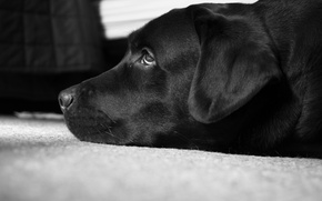 Picture black and white, Labrador, best dog, Peter