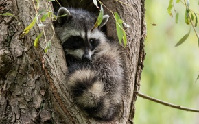 Picture tree, raccoon, cub, the hollow, in the hollow