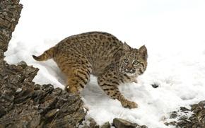 Wallpaper lynx, snow, stones