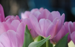 Picture flowers, macro, petals. pink, spring, Tulip, tulips
