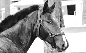 Picture horse, black and white, Trotter