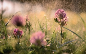 Picture summer, rain, meadow, clover