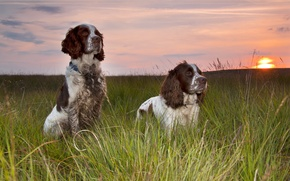 Picture dogs, sunset, friends