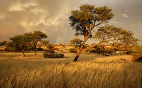 Picture grass, trees, Savannah, Africa, Namibia