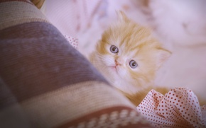 Picture look, red, muzzle, kitty, Persian cat