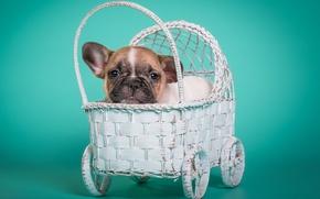 Picture stroller, puppy, bulldog, doggie, French