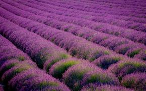 Picture field, landscape, flowers, nature, purple, the ranks, lavender, Great Britain, Kent, Eynsford