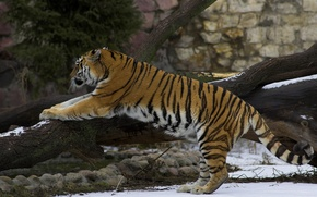 Picture snow, Tiger, stretching, warm-up, exercises, a fallen tree