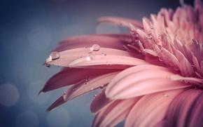 Picture flower, drops, macro