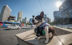 Picture Korea, Official Seoul Phodographer, Boston terrier
