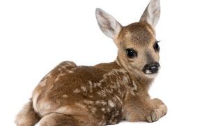 Wallpaper white background, cub, deer