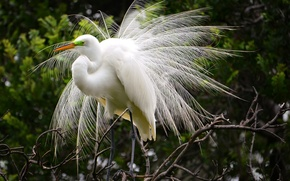 Picture greens, bird, Nature, great white egret.