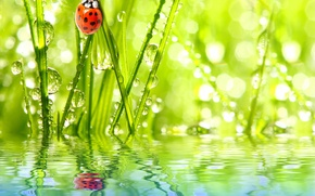 Wallpaper the sky, grass, water, drops, Rosa, reflection, ladybug, insect