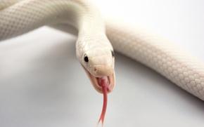 Wallpaper mouth, albino, snake, language