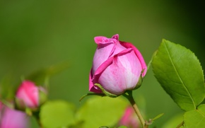 Picture leaves, macro, rose, petals, Bud