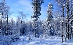 Picture winter, forest, snow, a lot