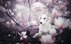 Picture branches, dog, puppy, flowering, flowers, Magnolia, The border collie